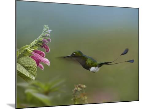 Booted Racket-Tail Hummingbird Flying to a Flower-Tim Fitzharris-Mounted Photographic Print