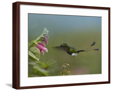Booted Racket-Tail Hummingbird Flying to a Flower-Tim Fitzharris-Framed Art Print