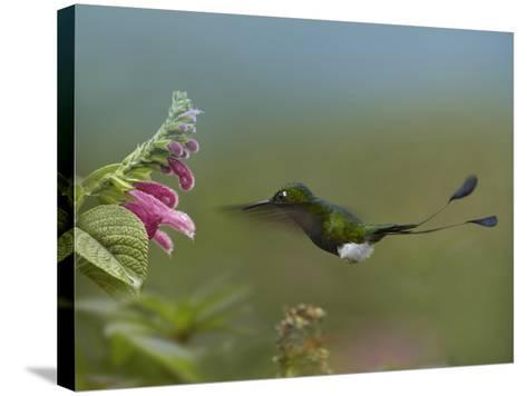 Booted Racket-Tail Hummingbird Flying to a Flower-Tim Fitzharris-Stretched Canvas Print
