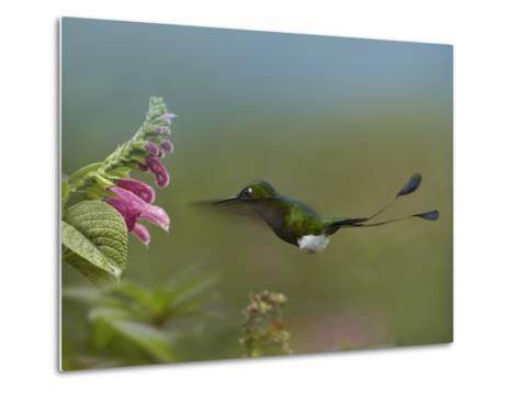 Booted Racket-Tail Hummingbird Flying to a Flower-Tim Fitzharris-Metal Print