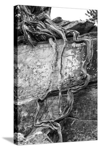 Utah. Black and White Image of Desert Juniper Tree Growing Out of a Canyon Wall-Judith Zimmerman-Stretched Canvas Print