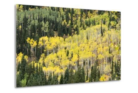 Aspen Trees in the Fall-Howie Garber-Metal Print