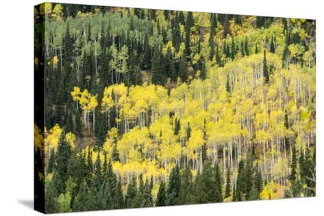 Aspen Trees in the Fall-Howie Garber-Stretched Canvas Print