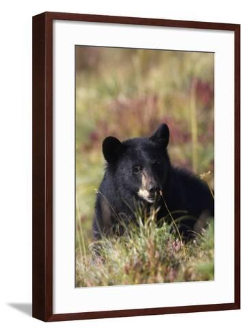 Black Bear, Early Autumn-Ken Archer-Framed Art Print