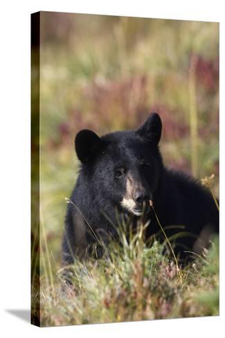 Black Bear, Early Autumn-Ken Archer-Stretched Canvas Print