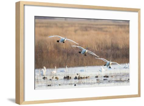 Trumpeter Swans Flying to Wetland, Riverlands Migratory Bird Sanctuary, West Alton, Montana-Richard and Susan Day-Framed Art Print