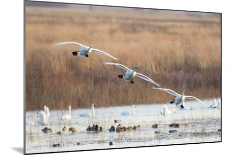 Trumpeter Swans Flying to Wetland, Riverlands Migratory Bird Sanctuary, West Alton, Montana-Richard and Susan Day-Mounted Photographic Print