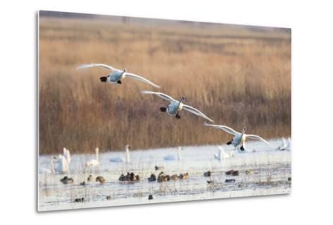 Trumpeter Swans Flying to Wetland, Riverlands Migratory Bird Sanctuary, West Alton, Montana-Richard and Susan Day-Metal Print