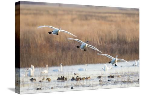 Trumpeter Swans Flying to Wetland, Riverlands Migratory Bird Sanctuary, West Alton, Montana-Richard and Susan Day-Stretched Canvas Print