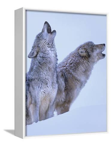 Gray Wolves Howling in Snow, Montana-Tim Fitzharris-Framed Canvas Print