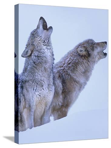 Gray Wolves Howling in Snow, Montana-Tim Fitzharris-Stretched Canvas Print