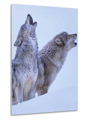 Gray Wolves Howling in Snow, Montana-Tim Fitzharris-Metal Print