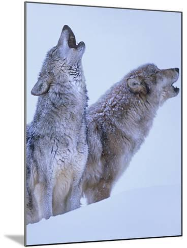 Gray Wolves Howling in Snow, Montana-Tim Fitzharris-Mounted Photographic Print