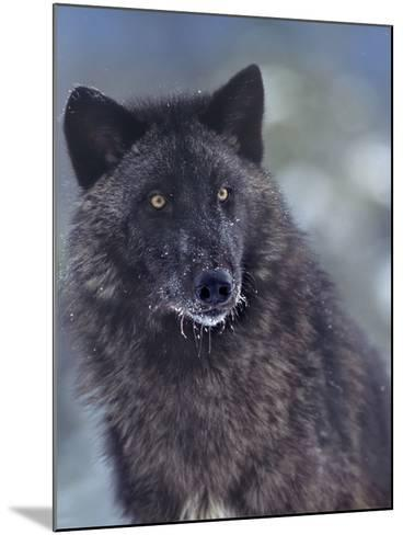 Gray Wolf in Snow, Montana-Tim Fitzharris-Mounted Photographic Print