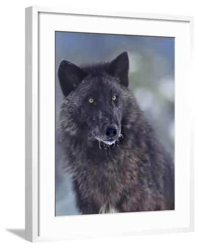 Gray Wolf in Snow, Montana-Tim Fitzharris-Framed Art Print