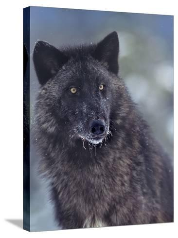Gray Wolf in Snow, Montana-Tim Fitzharris-Stretched Canvas Print