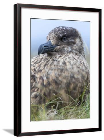 Great Skua. Scotland, Shetland Islands-Martin Zwick-Framed Art Print