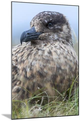 Great Skua. Scotland, Shetland Islands-Martin Zwick-Mounted Photographic Print