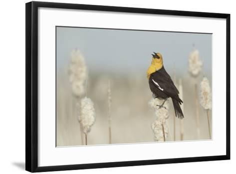 Yellow-Headed Blackbird Singing-Ken Archer-Framed Art Print