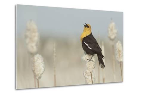 Yellow-Headed Blackbird Singing-Ken Archer-Metal Print
