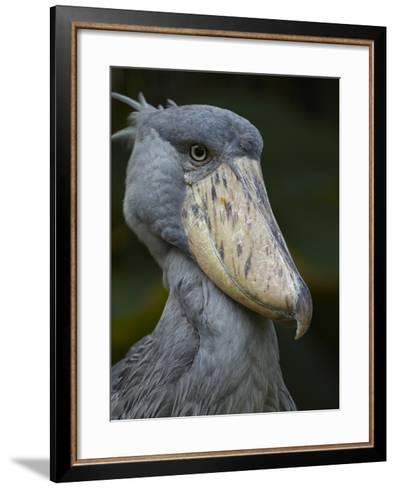 Shoe-Billed Stork, Kenya, Africa-Tim Fitzharris-Framed Art Print