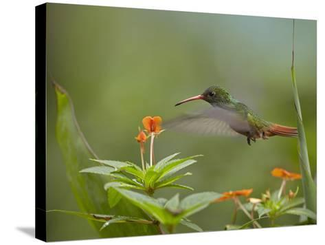 Rufous-Tailed Hummingbird, Costa Rica-Tim Fitzharris-Stretched Canvas Print