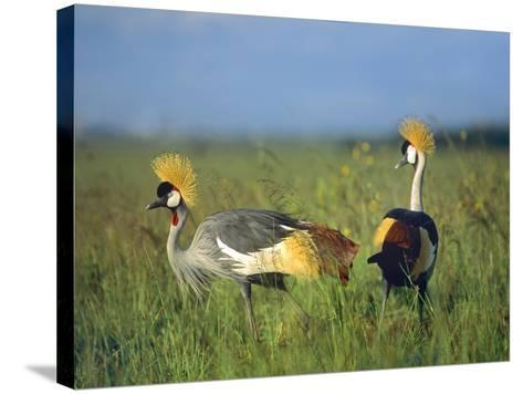 Crowned Cranes, Kenya, Africa-Tim Fitzharris-Stretched Canvas Print