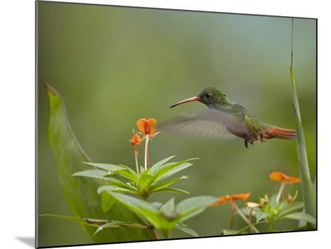 Rufous-Tailed Hummingbird, Costa Rica-Tim Fitzharris-Mounted Photographic Print