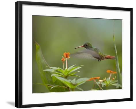 Rufous-Tailed Hummingbird, Costa Rica-Tim Fitzharris-Framed Art Print