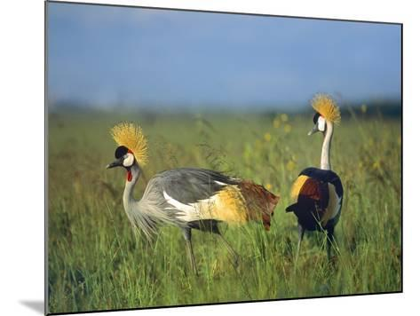 Crowned Cranes, Kenya, Africa-Tim Fitzharris-Mounted Photographic Print