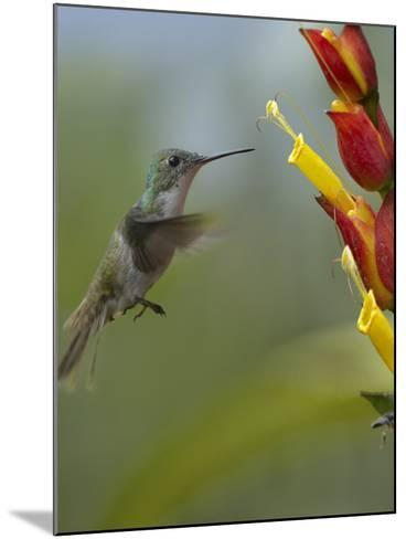 Andean Emerald Hummingbird Hovering at a Flower-Tim Fitzharris-Mounted Photographic Print