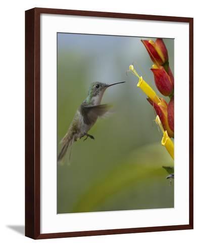 Andean Emerald Hummingbird Hovering at a Flower-Tim Fitzharris-Framed Art Print