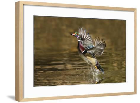 Wood Duck Male Takeoff from River-Larry Ditto-Framed Art Print