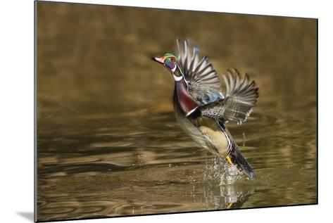 Wood Duck Male Takeoff from River-Larry Ditto-Mounted Photographic Print