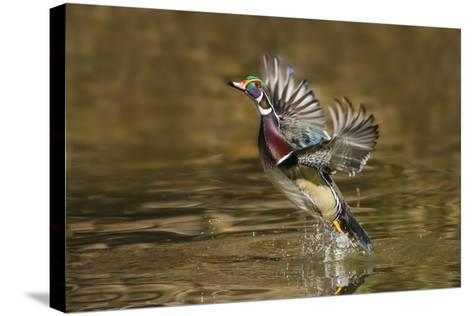 Wood Duck Male Takeoff from River-Larry Ditto-Stretched Canvas Print