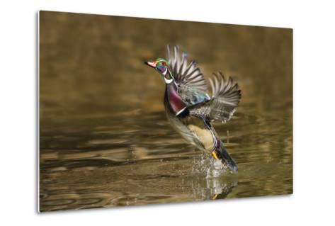 Wood Duck Male Takeoff from River-Larry Ditto-Metal Print