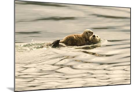 A Mother Sea Otter Swims on Her Back as Her Baby Rests on Her Stomach in Alaskan Waters-John Alves-Mounted Photographic Print