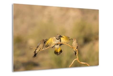 Arizona, Buckeye. Gilded Flicker Lands Between Male Gila Woodpeckers-Jaynes Gallery-Metal Print