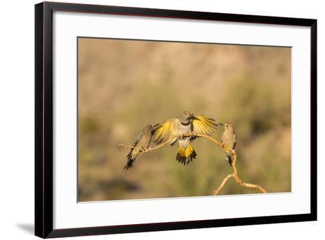 Arizona, Buckeye. Gilded Flicker Lands Between Male Gila Woodpeckers-Jaynes Gallery-Framed Art Print