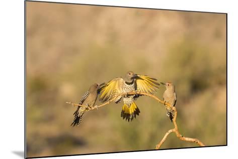Arizona, Buckeye. Gilded Flicker Lands Between Male Gila Woodpeckers-Jaynes Gallery-Mounted Photographic Print