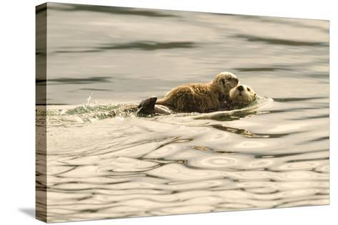A Mother Sea Otter Swims on Her Back as Her Baby Rests on Her Stomach in Alaskan Waters-John Alves-Stretched Canvas Print