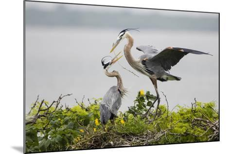 Great Blue Heron-Larry Ditto-Mounted Photographic Print