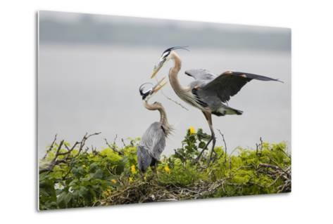 Great Blue Heron-Larry Ditto-Metal Print