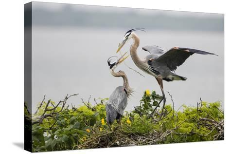 Great Blue Heron-Larry Ditto-Stretched Canvas Print