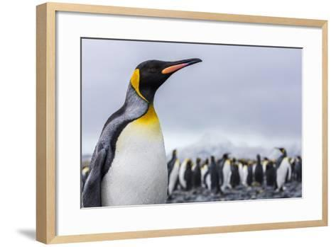 South Georgia Island, Salisbury Plains. Close-Up of King Penguin-Jaynes Gallery-Framed Art Print