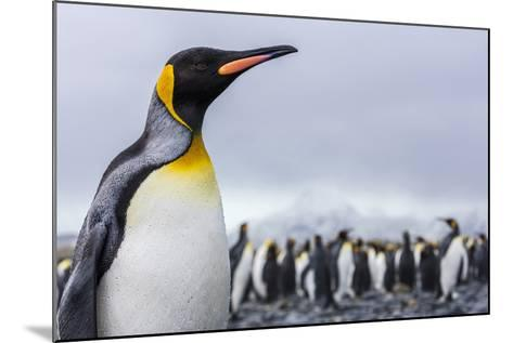 South Georgia Island, Salisbury Plains. Close-Up of King Penguin-Jaynes Gallery-Mounted Photographic Print