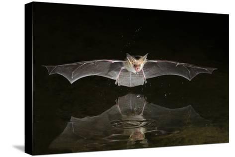 Arizona, Pallid Bat Drinking-Ellen Goff-Stretched Canvas Print