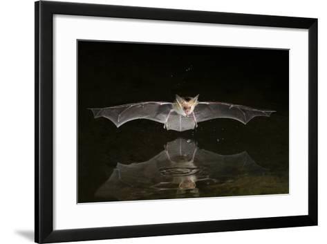 Arizona, Pallid Bat Drinking-Ellen Goff-Framed Art Print
