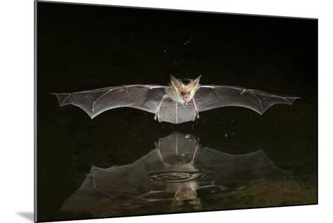 Arizona, Pallid Bat Drinking-Ellen Goff-Mounted Photographic Print