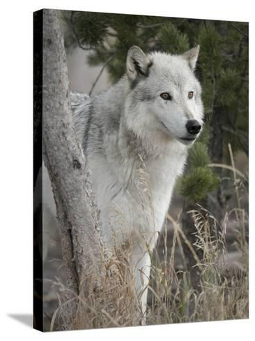 Gray Wolf, Canis Lupus, West Yellowstone, Montana-Maresa Pryor-Stretched Canvas Print